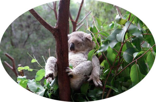 1ъ342463911_ryerrrr_koala